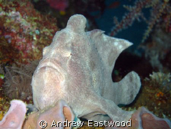 Frogfish on one of the smaller wrecks in Puerto Gallera. ... by Andrew Eastwood 